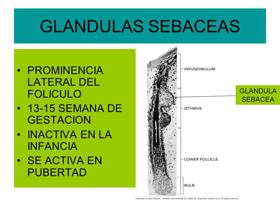 GLANDULAS SEBACEAS PROMINENCIA LATERAL DEL FOLICULO 13-15 SEMANA DE GESTACION INACTIVA EN LA INFANCIA SE ACTIVA EN PUBERTAD GLANDULA SEBACEA
