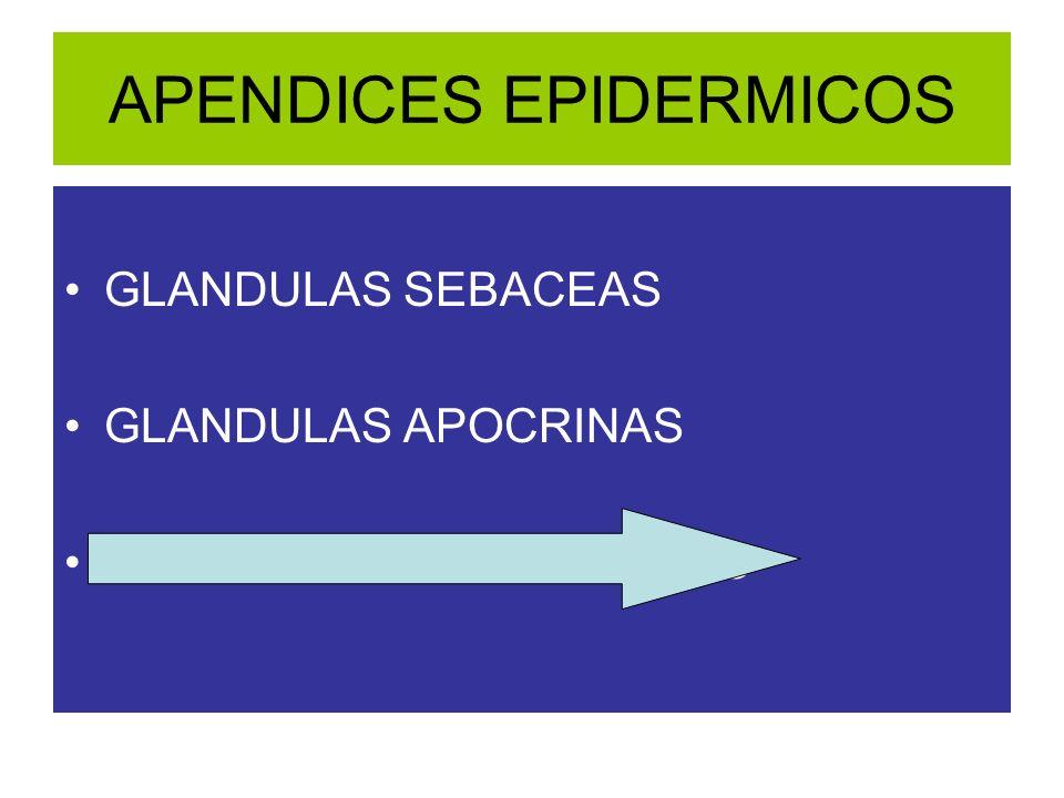 APENDICES EPIDERMICOS GLANDULAS SEBACEAS GLANDULAS APOCRINAS GLANDULAS SUDORIPARAS