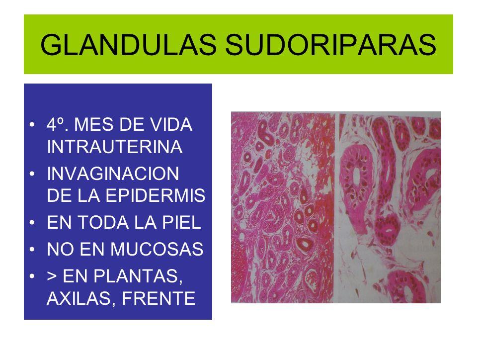 4º. MES DE VIDA INTRAUTERINA INVAGINACION DE LA EPIDERMIS EN TODA LA PIEL NO EN MUCOSAS > EN PLANTAS, AXILAS, FRENTE