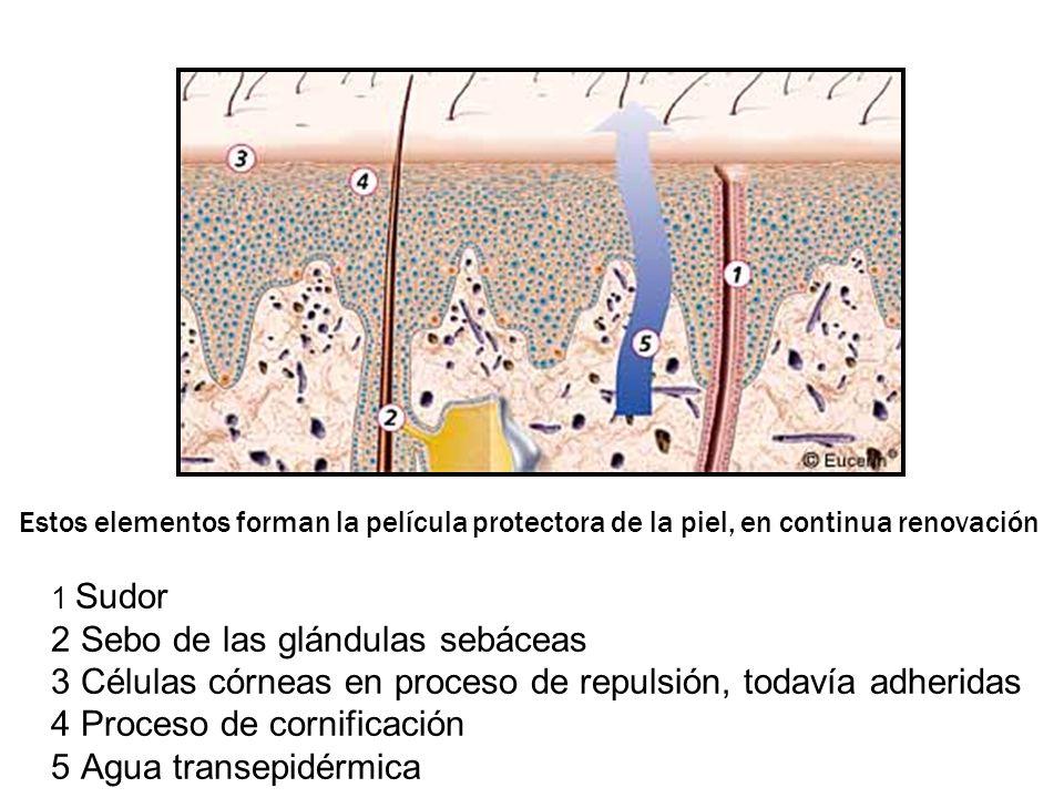 Estos elementos forman la película protectora de la piel, en continua renovación 1 Sudor 2 Sebo de las glándulas sebáceas 3 Células córneas en proceso de repulsión, todavía adheridas 4 Proceso de cornificación 5 Agua transepidérmica
