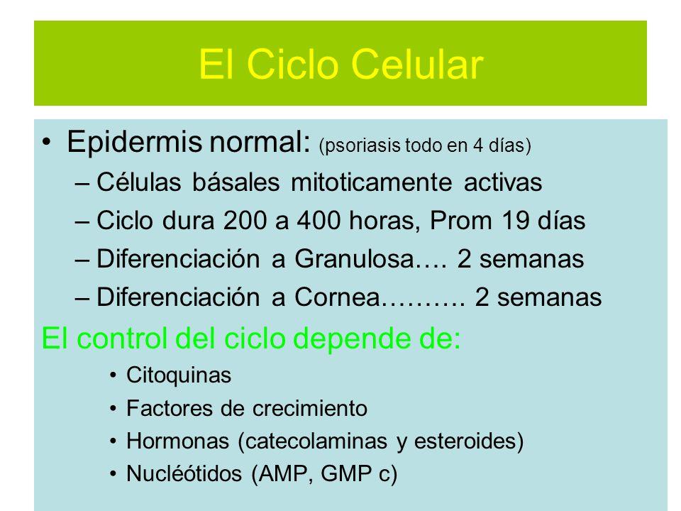 El Ciclo Celular Epidermis normal: (psoriasis todo en 4 días) –Células básales mitoticamente activas –Ciclo dura 200 a 400 horas, Prom 19 días –Diferenciación a Granulosa….