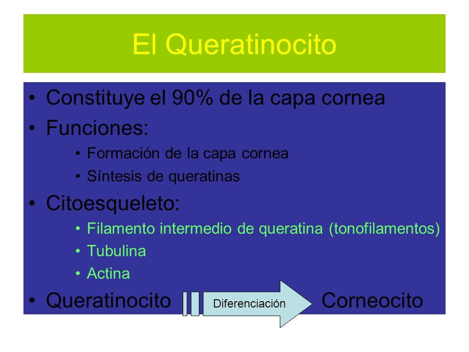 El Queratinocito Constituye el 90% de la capa cornea Funciones: Formación de la capa cornea Síntesis de queratinas Citoesqueleto: Filamento intermedio de queratina (tonofilamentos) Tubulina Actina Queratinocito Corneocito Diferenciación