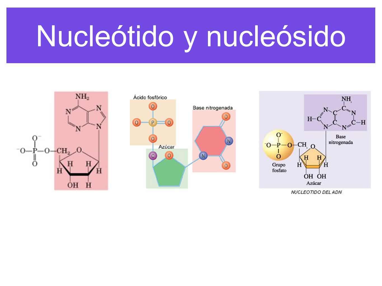 Nucleótido y nucleósido