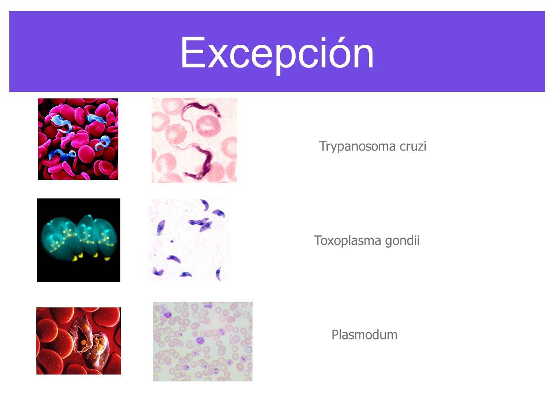 Excepción Toxoplasma gondii Trypanosoma cruzi Plasmodum