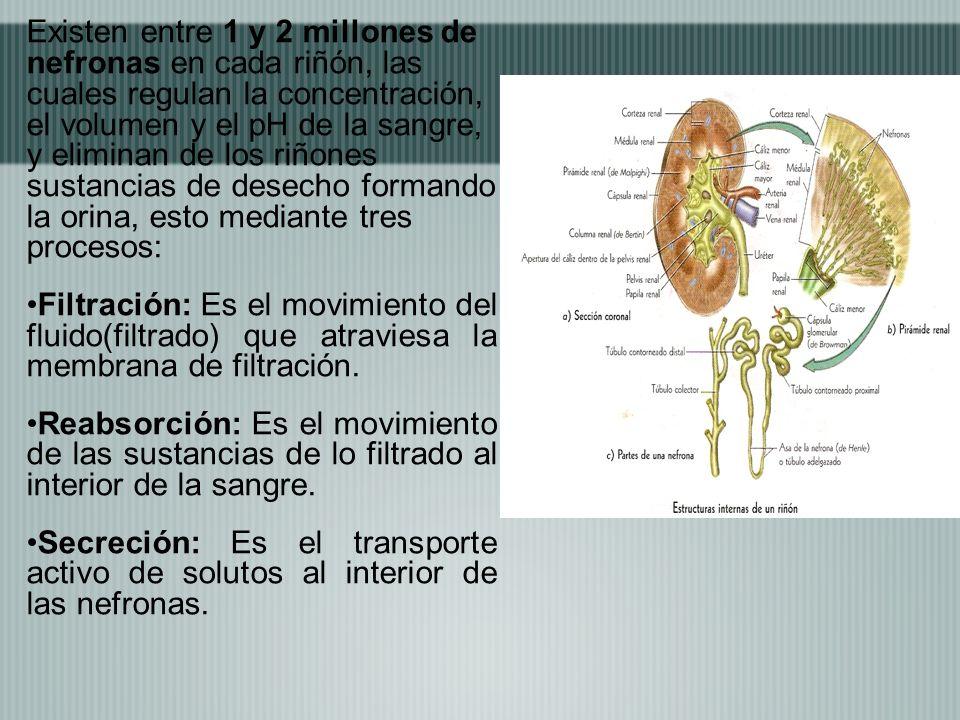 Existen entre 1 y 2 millones de nefronas en cada riñón, las cuales regulan la concentración, el volumen y el pH de la sangre, y eliminan de los riñone