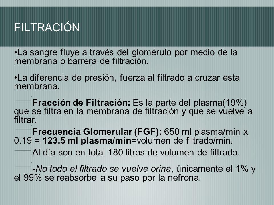 FILTRACIÓN La sangre fluye a través del glomérulo por medio de la membrana o barrera de filtración. La diferencia de presión, fuerza al filtrado a cru