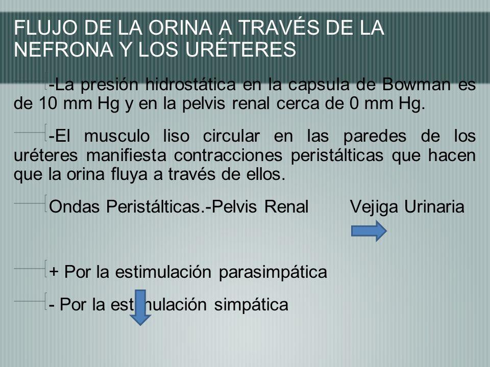 FLUJO DE LA ORINA A TRAVÉS DE LA NEFRONA Y LOS URÉTERES -La presión hidrostática en la capsula de Bowman es de 10 mm Hg y en la pelvis renal cerca de