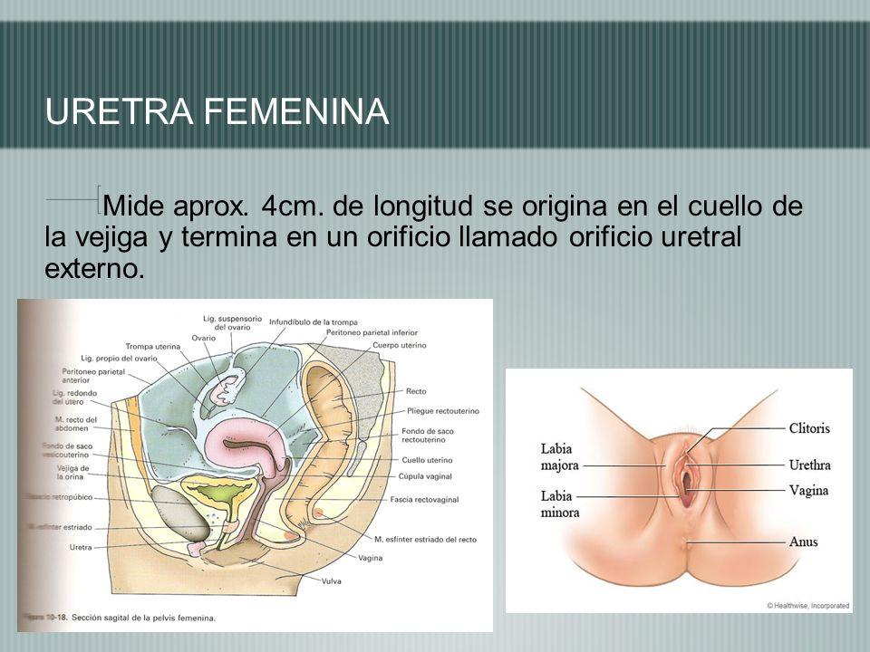 URETRA FEMENINA Mide aprox. 4cm. de longitud se origina en el cuello de la vejiga y termina en un orificio llamado orificio uretral externo.