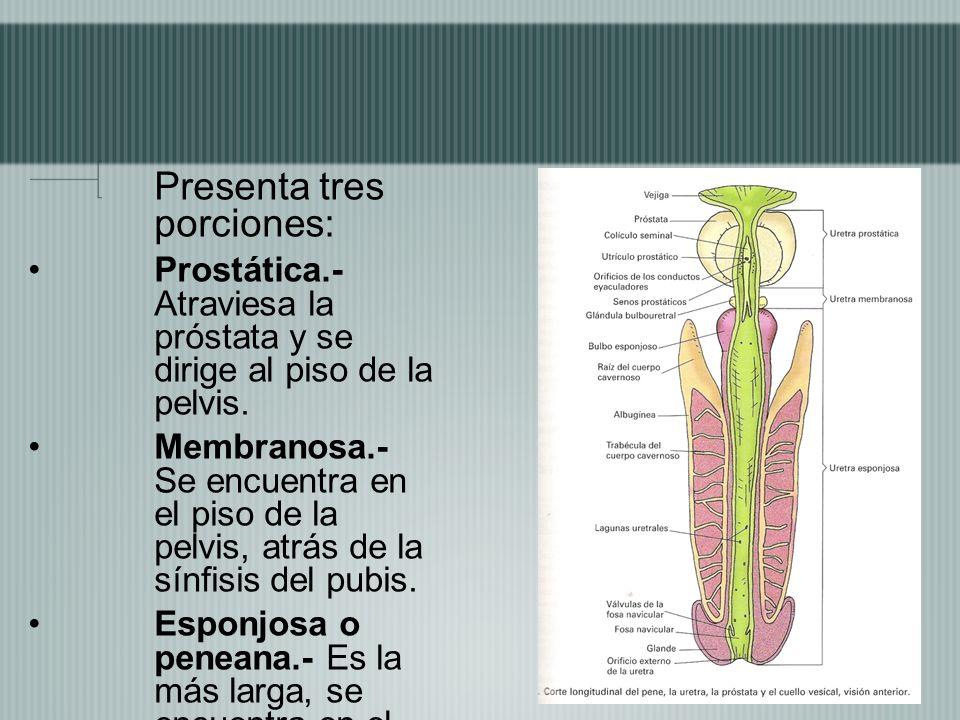 Presenta tres porciones: Prostática.- Atraviesa la próstata y se dirige al piso de la pelvis. Membranosa.- Se encuentra en el piso de la pelvis, atrás