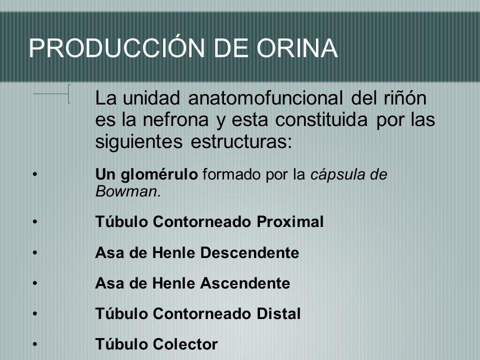 PRODUCCIÓN DE ORINA La unidad anatomofuncional del riñón es la nefrona y esta constituida por las siguientes estructuras: Un glomérulo formado por la