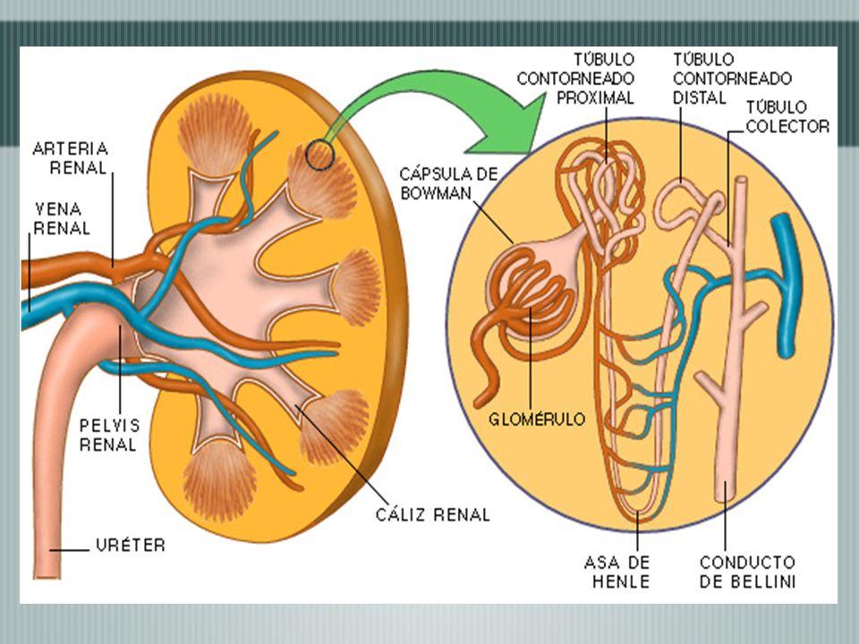 REFLEJO DE LA MICCIÓN -Tiene como objetivo eliminar la orina de la vejiga urinaria.