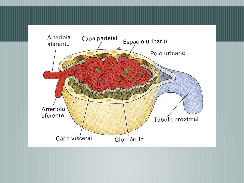 Existen entre 1 y 2 millones de nefronas en cada riñón, las cuales regulan la concentración, el volumen y el pH de la sangre, y eliminan de los riñones sustancias de desecho formando la orina, esto mediante tres procesos: Filtración: Es el movimiento del fluido(filtrado) que atraviesa la membrana de filtración.