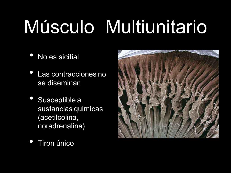 Músculo Multiunitario No es sicitial Las contracciones no se diseminan Susceptible a sustancias quimicas (acetilcolina, noradrenalina) Tiron único