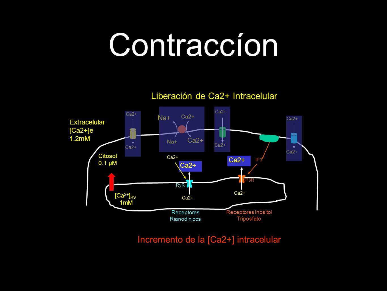 Contraccíon [Ca 2+ ] RS 1mM Liberación de Ca2+ Intracelular IP3 Citosol 0.1 µM Incremento de la [Ca2+] intracelular Receptores Inositol Triposfato IP3R Ca2+ Receptores Rianodinicos RyR Ca2+ Extracelular [Ca2+]e 1.2mM Na+ Ca2+ Na+