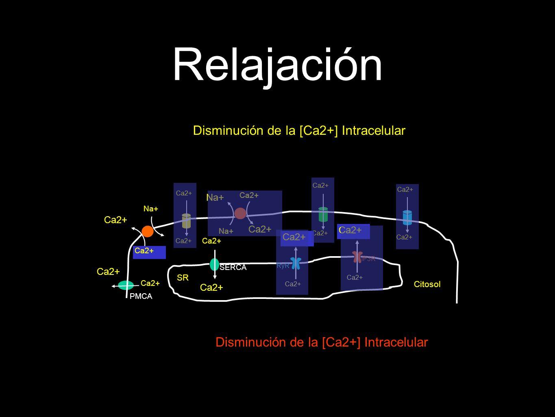 Relajación Disminución de la [Ca2+] Intracelular Ca2+ Citosol Disminución de la [Ca2+] Intracelular PMCA Ca2+ SR Ca2+ SERCA Ca2+ Na+ Ca2+ RyR Ca2+ IP3R Ca2+ Na+ Ca2+ Na+