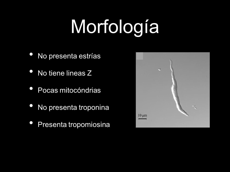 Morfología No presenta estrías No tiene lineas Z Pocas mitocóndrias No presenta troponina Presenta tropomiosina