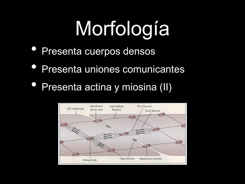 Morfología Presenta cuerpos densos Presenta uniones comunicantes Presenta actina y miosina (II)
