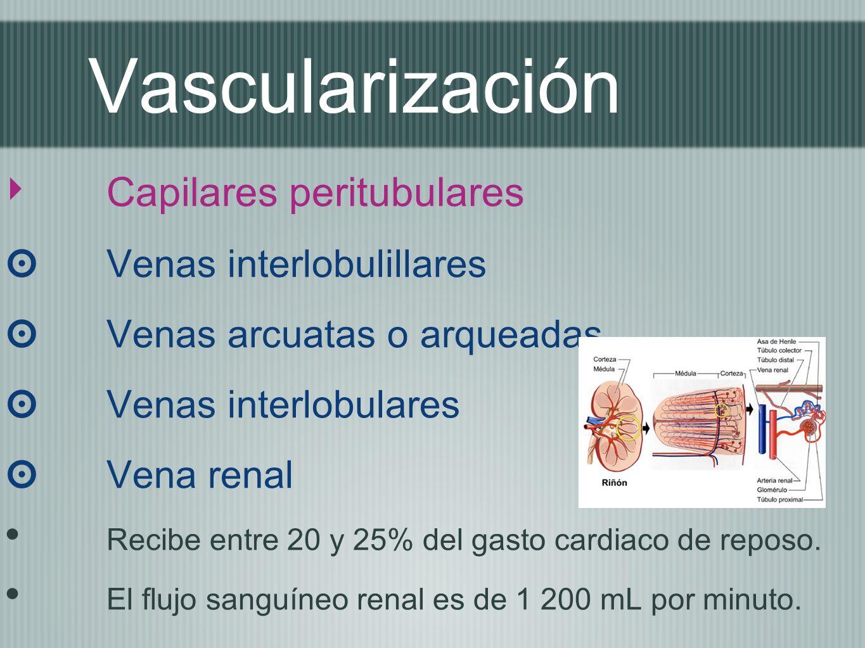 Vascularización Capilares peritubulares Venas interlobulillares Venas arcuatas o arqueadas Venas interlobulares Vena renal Recibe entre 20 y 25% del g