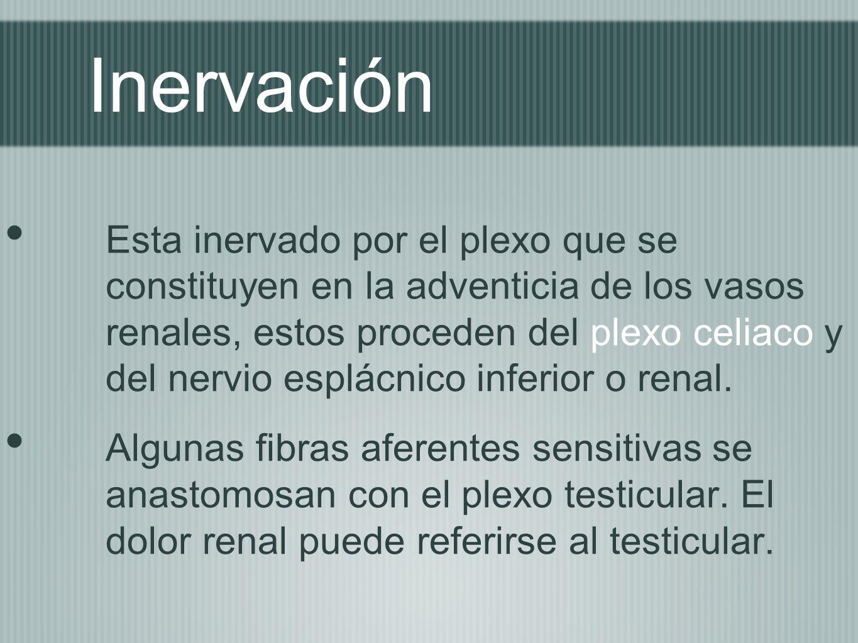 Inervación Esta inervado por el plexo que se constituyen en la adventicia de los vasos renales, estos proceden del plexo celiaco y del nervio esplácni