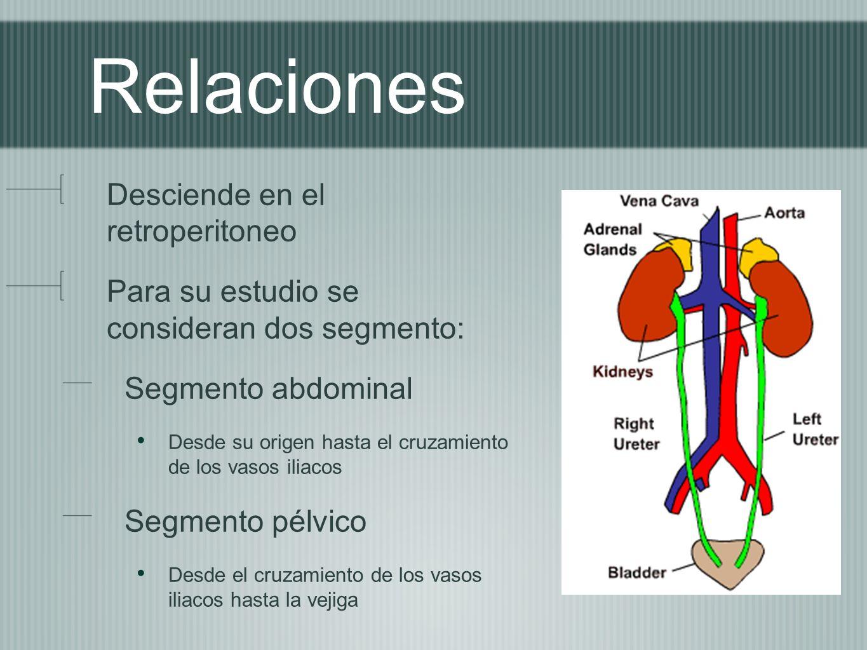 Relaciones Desciende en el retroperitoneo Para su estudio se consideran dos segmento: Segmento abdominal Desde su origen hasta el cruzamiento de los v