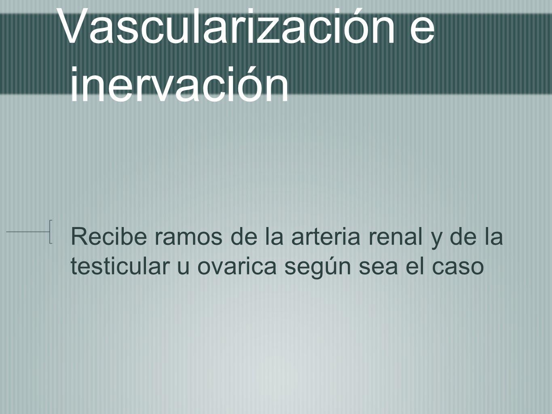 Vascularización e inervación Recibe ramos de la arteria renal y de la testicular u ovarica según sea el caso