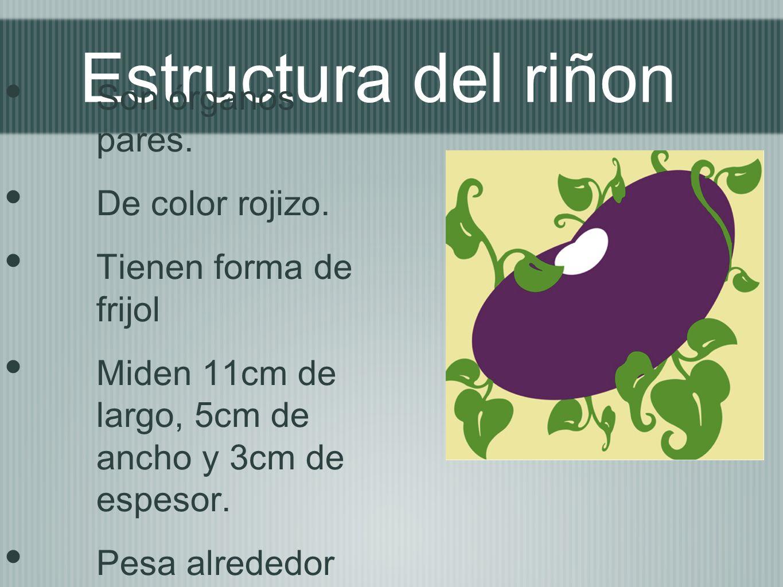 Estructura del riñon Son órganos pares. De color rojizo. Tienen forma de frijol Miden 11cm de largo, 5cm de ancho y 3cm de espesor. Pesa alrededor de