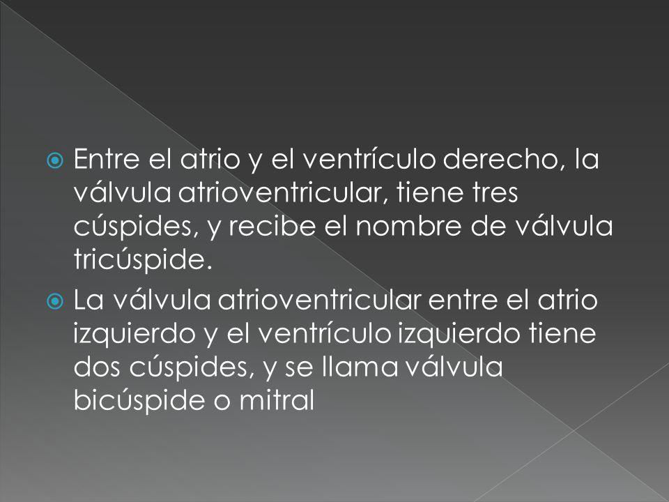 Entre el atrio y el ventrículo derecho, la válvula atrioventricular, tiene tres cúspides, y recibe el nombre de válvula tricúspide. La válvula atriove