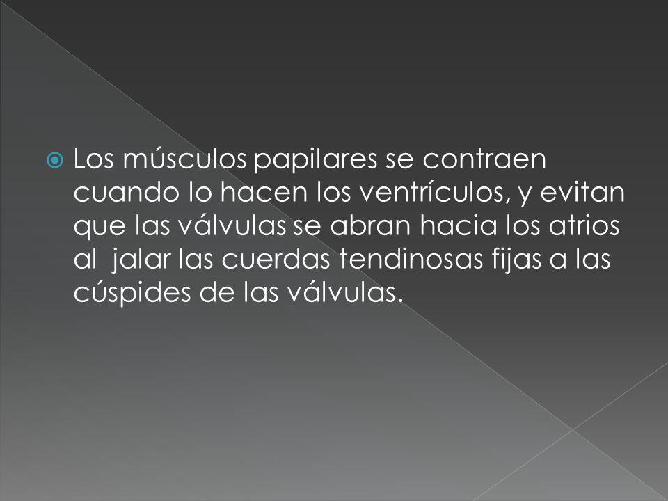 Los músculos papilares se contraen cuando lo hacen los ventrículos, y evitan que las válvulas se abran hacia los atrios al jalar las cuerdas tendinosa