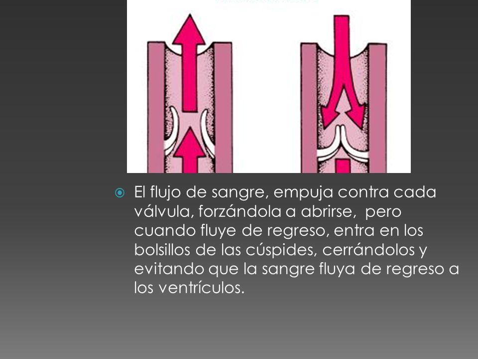 El flujo de sangre, empuja contra cada válvula, forzándola a abrirse, pero cuando fluye de regreso, entra en los bolsillos de las cúspides, cerrándolo