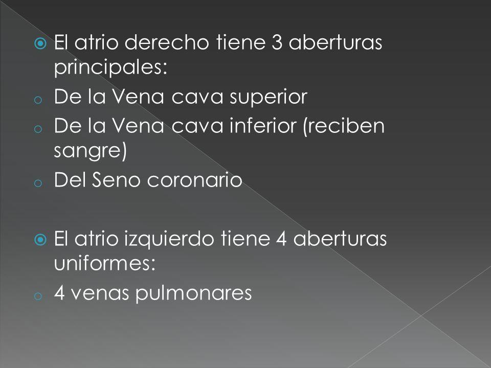 El atrio derecho tiene 3 aberturas principales: o De la Vena cava superior o De la Vena cava inferior (reciben sangre) o Del Seno coronario El atrio i