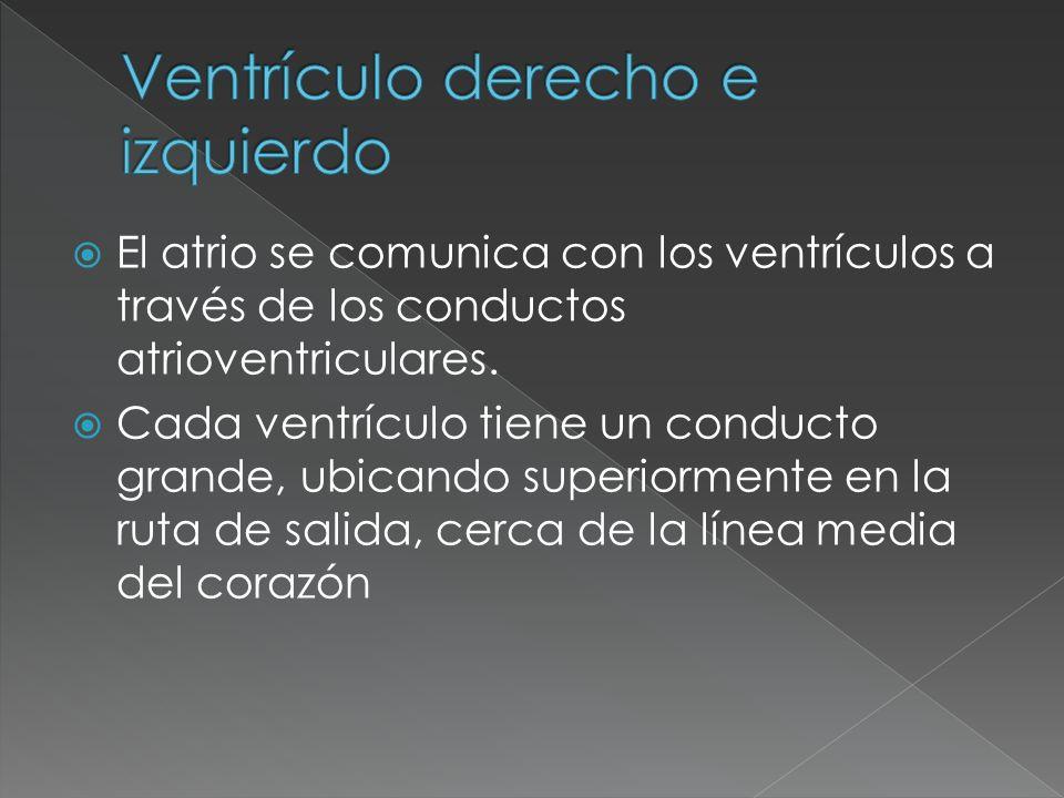 El atrio se comunica con los ventrículos a través de los conductos atrioventriculares. Cada ventrículo tiene un conducto grande, ubicando superiorment