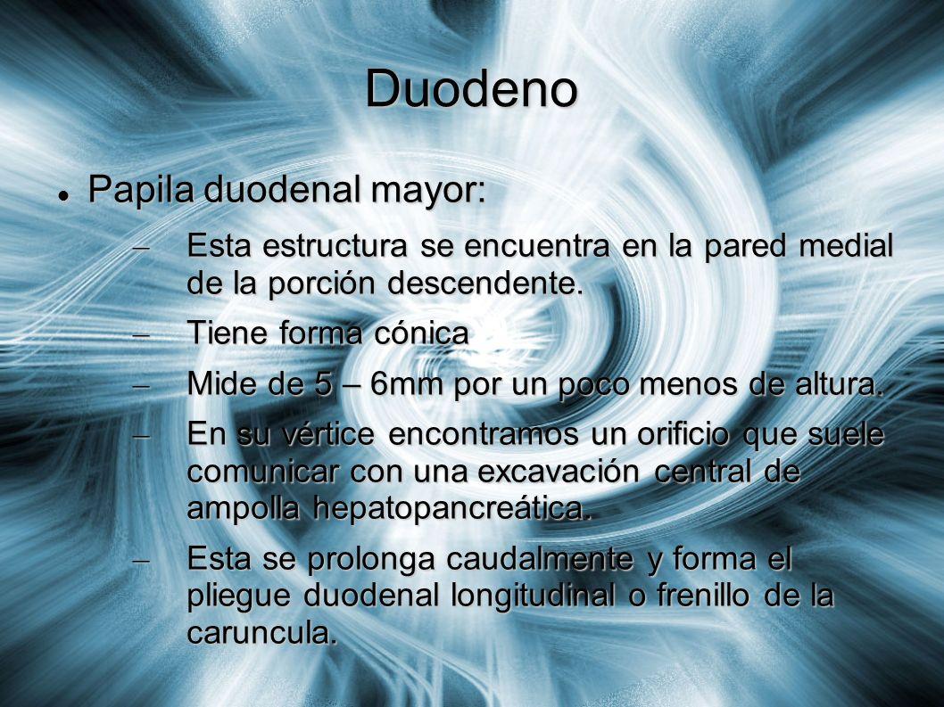 Duodeno Papila duodenal mayor: Papila duodenal mayor: – Esta estructura se encuentra en la pared medial de la porción descendente. – Tiene forma cónic