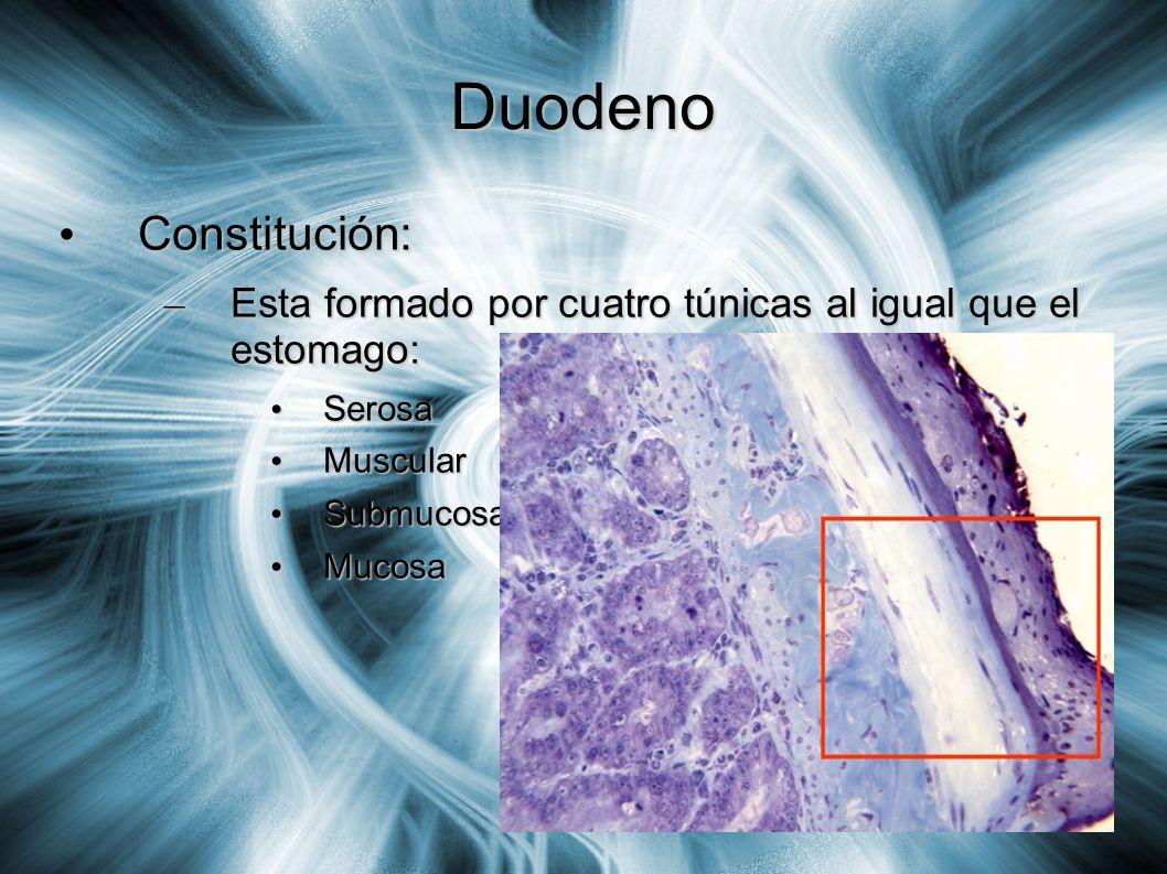 Duodeno Constitución: Constitución: – Esta formado por cuatro túnicas al igual que el estomago: Serosa Serosa Muscular Muscular Submucosa Submucosa Mu