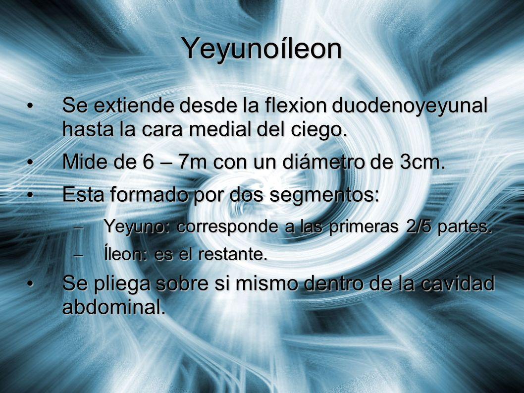 Yeyunoíleon Se extiende desde la flexion duodenoyeyunal hasta la cara medial del ciego. Se extiende desde la flexion duodenoyeyunal hasta la cara medi