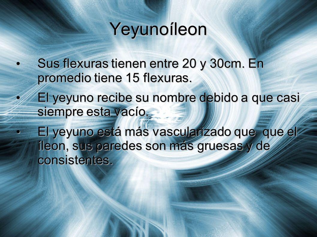 Yeyunoíleon Sus flexuras tienen entre 20 y 30cm. En promedio tiene 15 flexuras. Sus flexuras tienen entre 20 y 30cm. En promedio tiene 15 flexuras. El