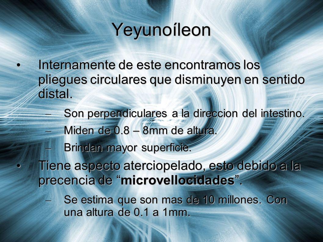 Yeyunoíleon Internamente de este encontramos los pliegues circulares que disminuyen en sentido distal. Internamente de este encontramos los pliegues c
