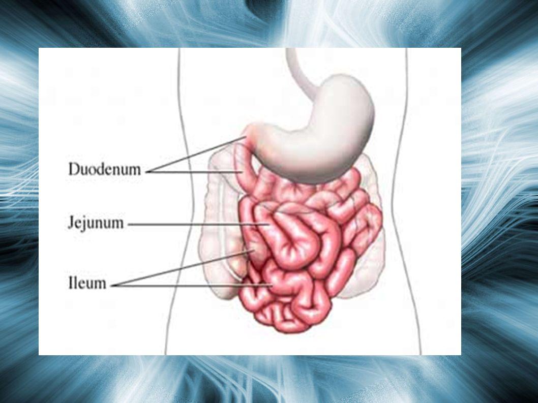 Yeyunoíleon Constitución anatomica: Constitución anatomica: – Tiene las mismas capas que el duodeno.