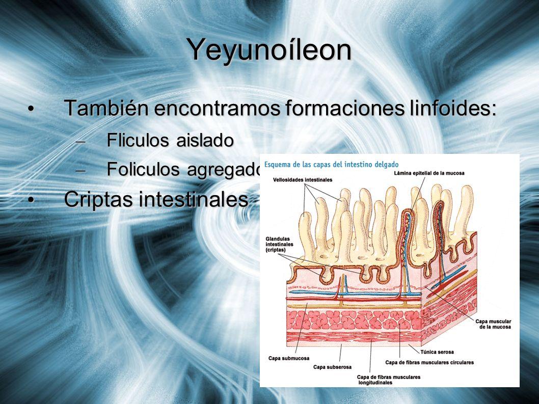 Yeyunoíleon También encontramos formaciones linfoides: También encontramos formaciones linfoides: – Fliculos aislado – Foliculos agregado Criptas inte