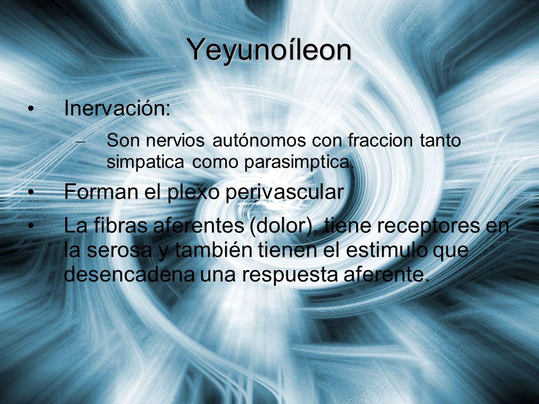 Yeyunoíleon Inervación: – Son nervios autónomos con fraccion tanto simpatica como parasimptica. Forman el plexo perivascular La fibras aferentes (dolo