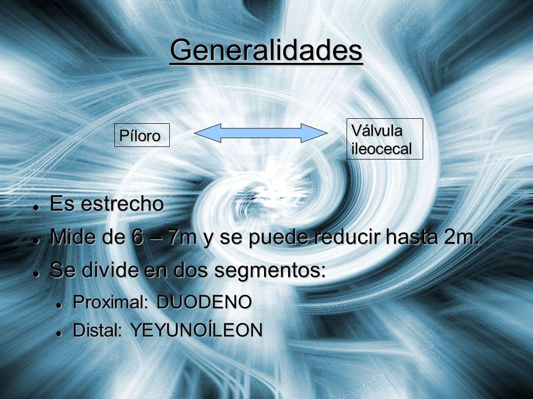 Generalidades Píloro Válvula ileocecal Es estrecho Es estrecho Mide de 6 – 7m y se puede reducir hasta 2m. Mide de 6 – 7m y se puede reducir hasta 2m.