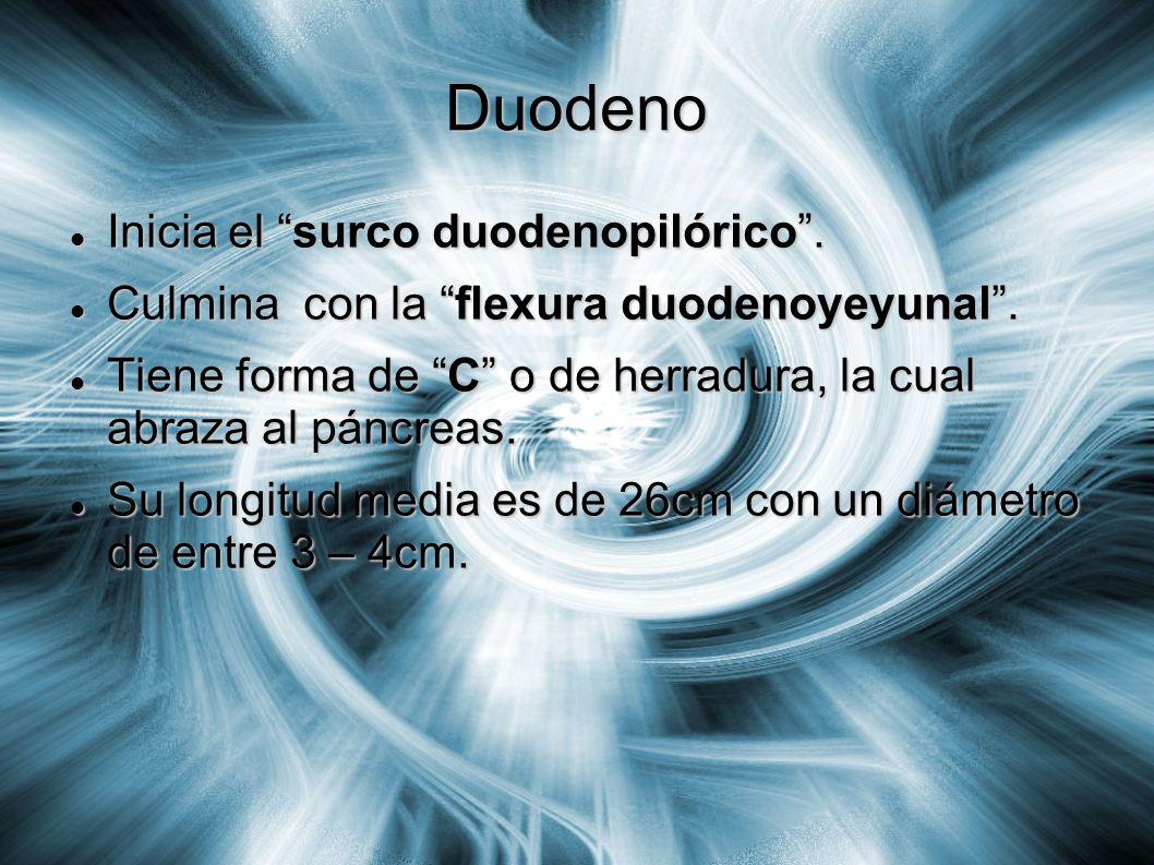 Duodeno Inicia el surco duodenopilórico. Inicia el surco duodenopilórico. Culmina con la flexura duodenoyeyunal. Culmina con la flexura duodenoyeyunal