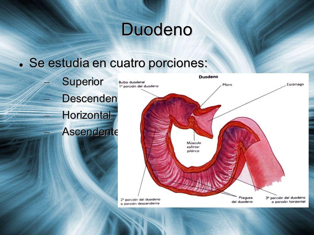 Duodeno En su porción superior (Configuración externa): En su porción superior (Configuración externa): – Es móvil igual a la región pilórica.
