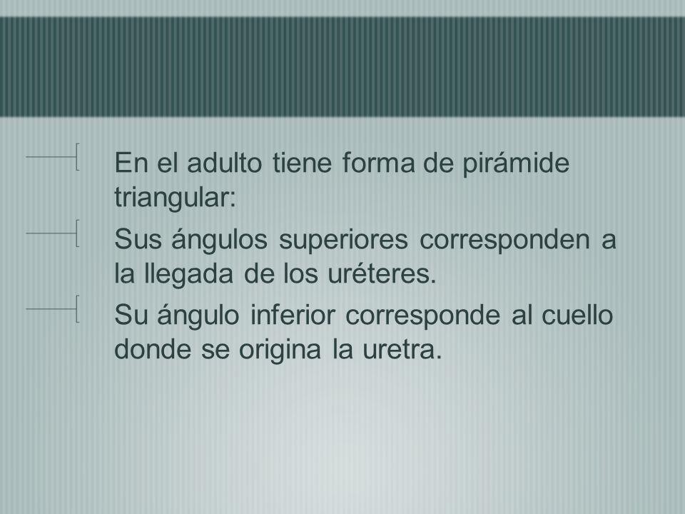 En el adulto tiene forma de pirámide triangular: Sus ángulos superiores corresponden a la llegada de los uréteres. Su ángulo inferior corresponde al c