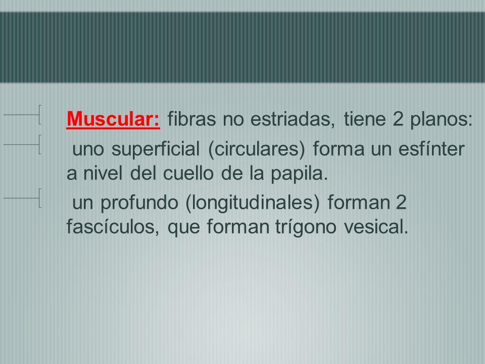 Muscular: fibras no estriadas, tiene 2 planos: uno superficial (circulares) forma un esfínter a nivel del cuello de la papila. un profundo (longitudin