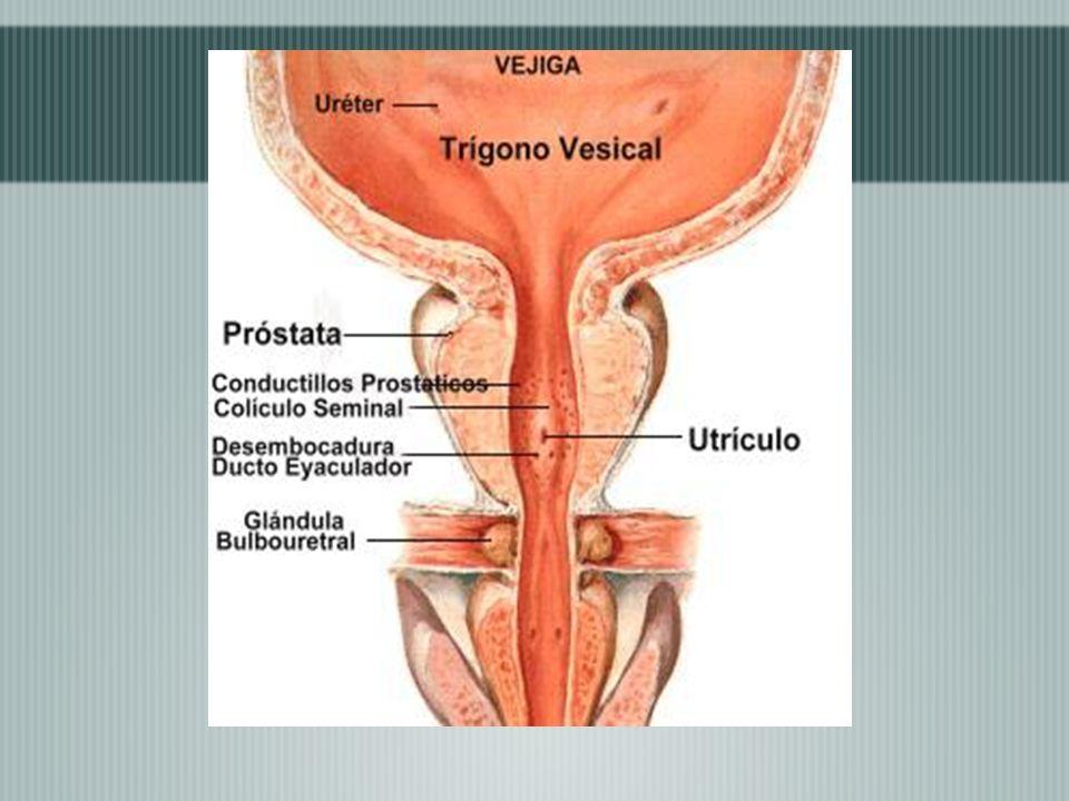 En ambos sexos el peritoneo al llegar a los bordes laterales pasa al suelo pélvico y forma de cada lado una depresión llamada fosa paravesical.