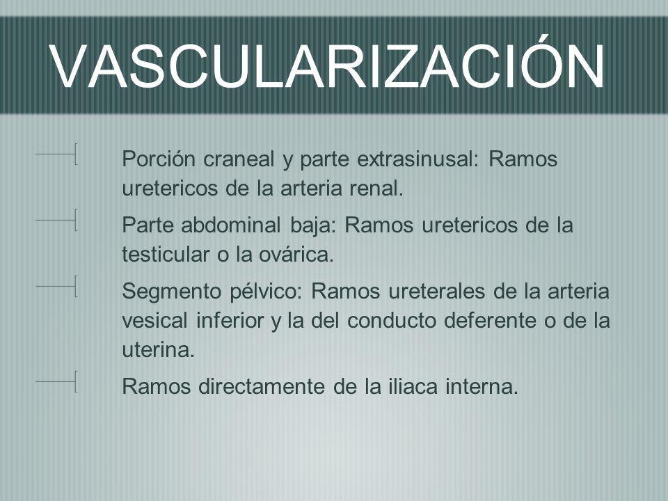 VASCULARIZACIÓN Porción craneal y parte extrasinusal: Ramos uretericos de la arteria renal. Parte abdominal baja: Ramos uretericos de la testicular o