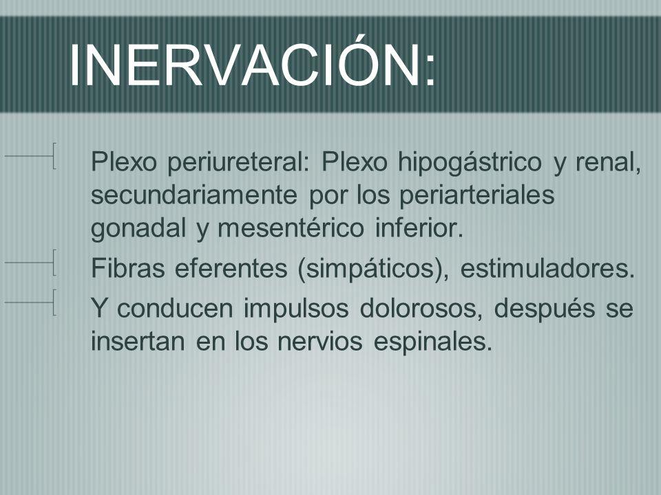 INERVACIÓN: Plexo periureteral: Plexo hipogástrico y renal, secundariamente por los periarteriales gonadal y mesentérico inferior. Fibras eferentes (s