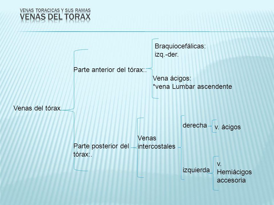 Venas del tórax Braquiocefálicas: izq.-der. Vena ácigos: *vena Lumbar ascendente Parte anterior del tórax:. Parte posterior del tórax:. Venas intercos