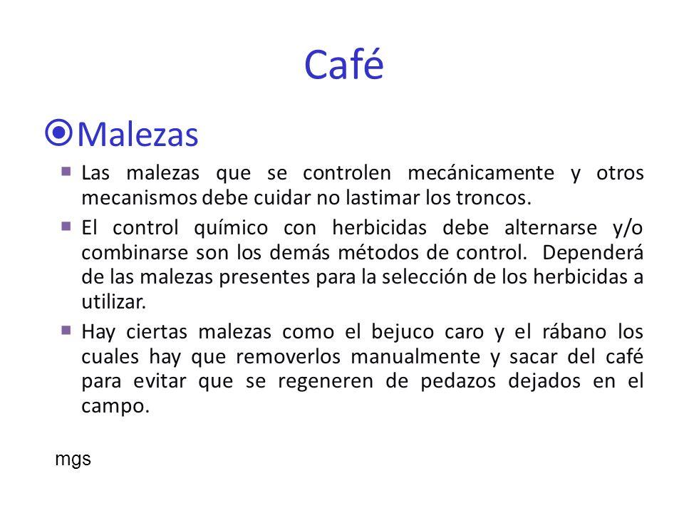 Insectos en el Café Minador de la hoja Hormiguilla Queresas Escarabajos mgs
