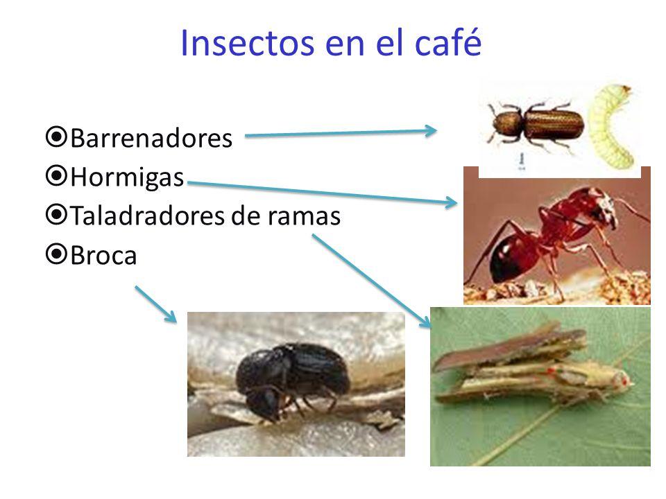 Enfermedades del Café Sancocho Cancros (Myrothecium roridum) Mancha Cercospora- Ojo de gallo Roya (Hemileia vastatrix) mgs